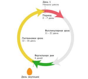 Женский менструальный цикл